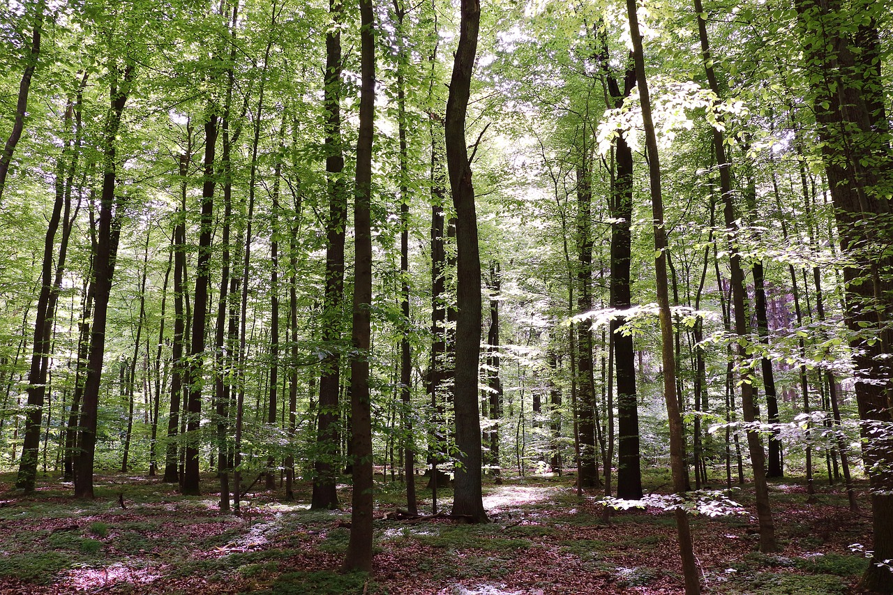 forest beech wood trees free photo