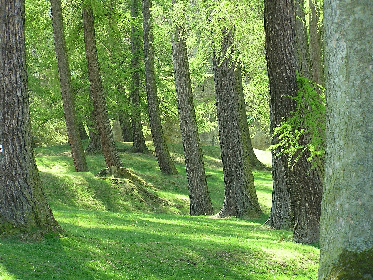 forest trees nature free photo