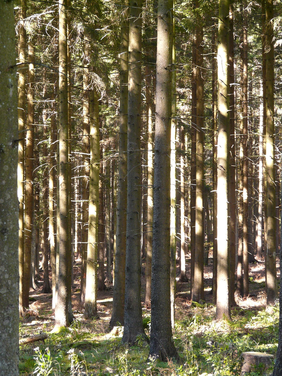forest trees firs free photo