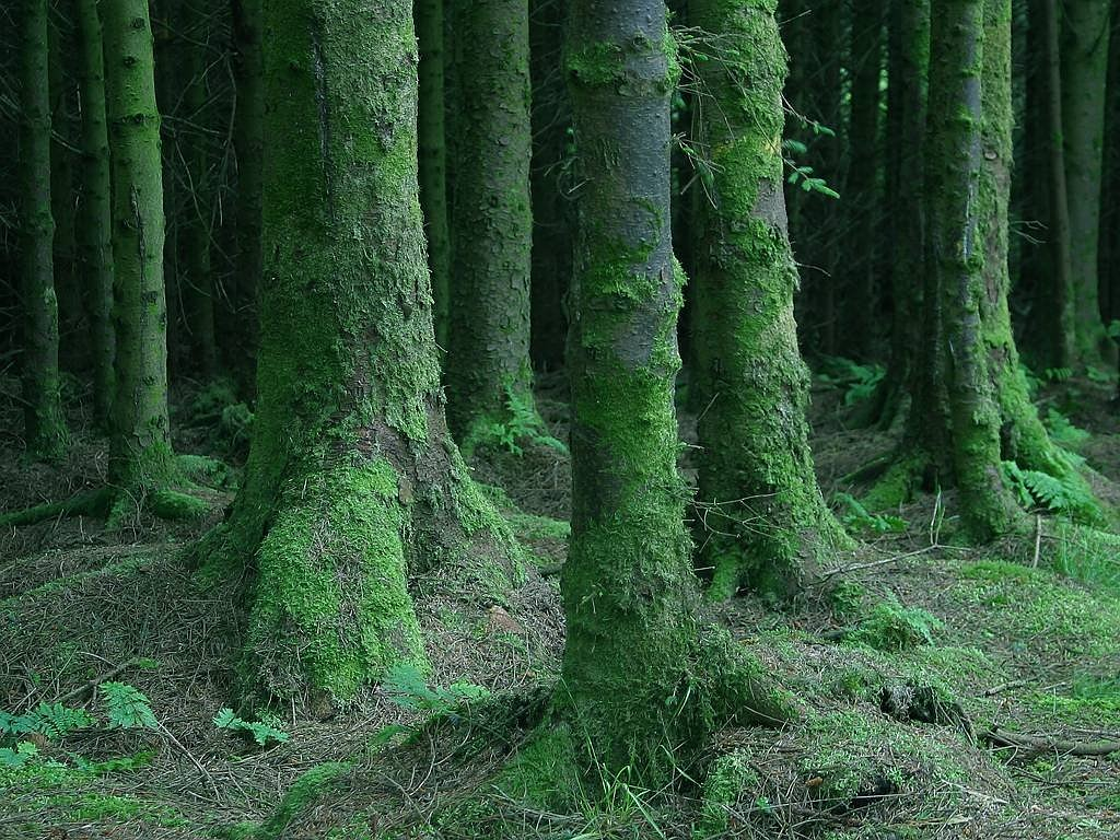 forest trees moss free picture