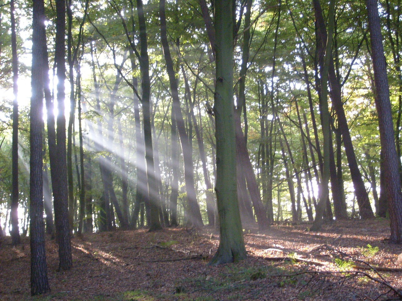forest trees sunbeam free photo