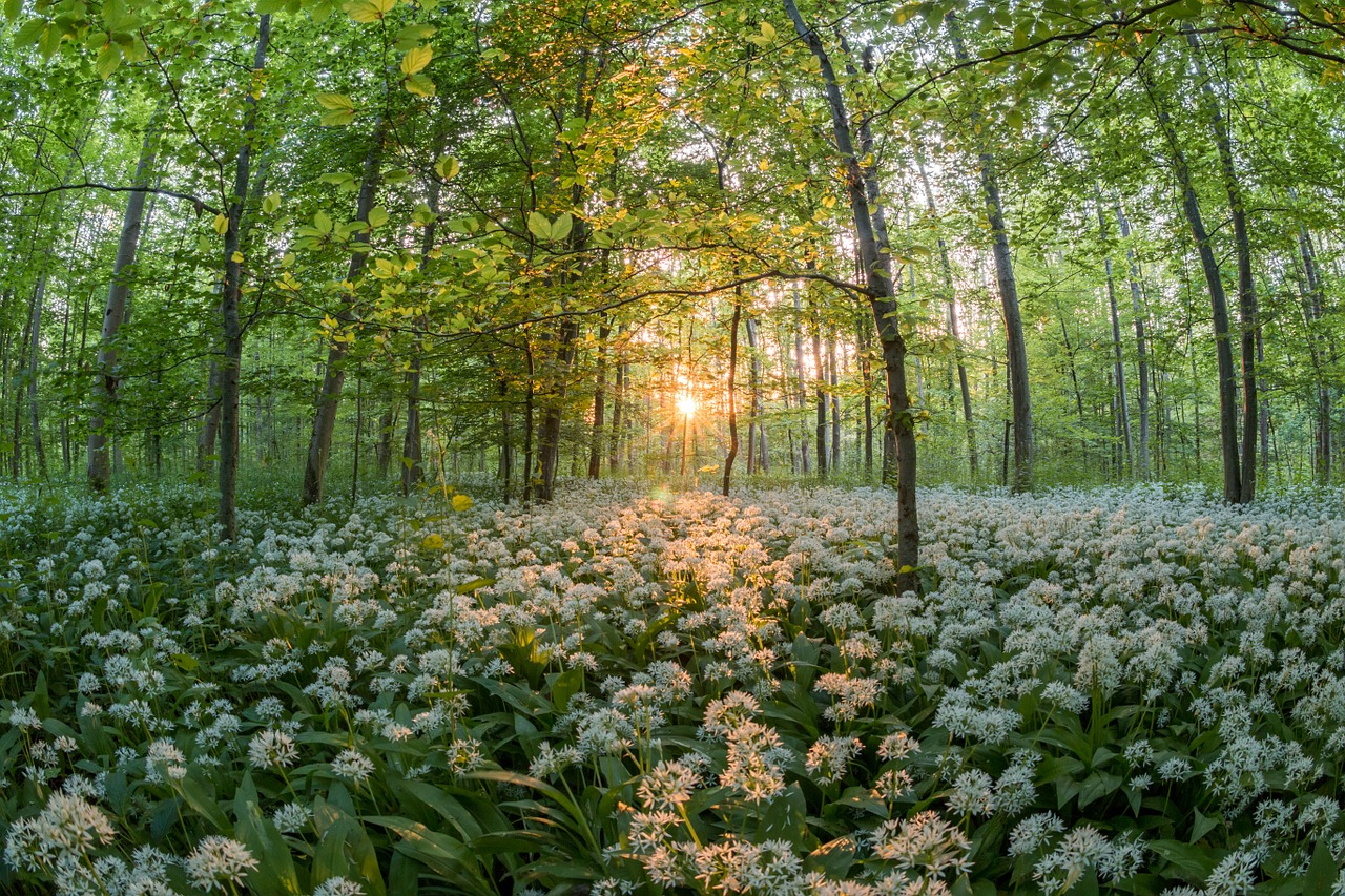 forest bear's garlic sunset free photo