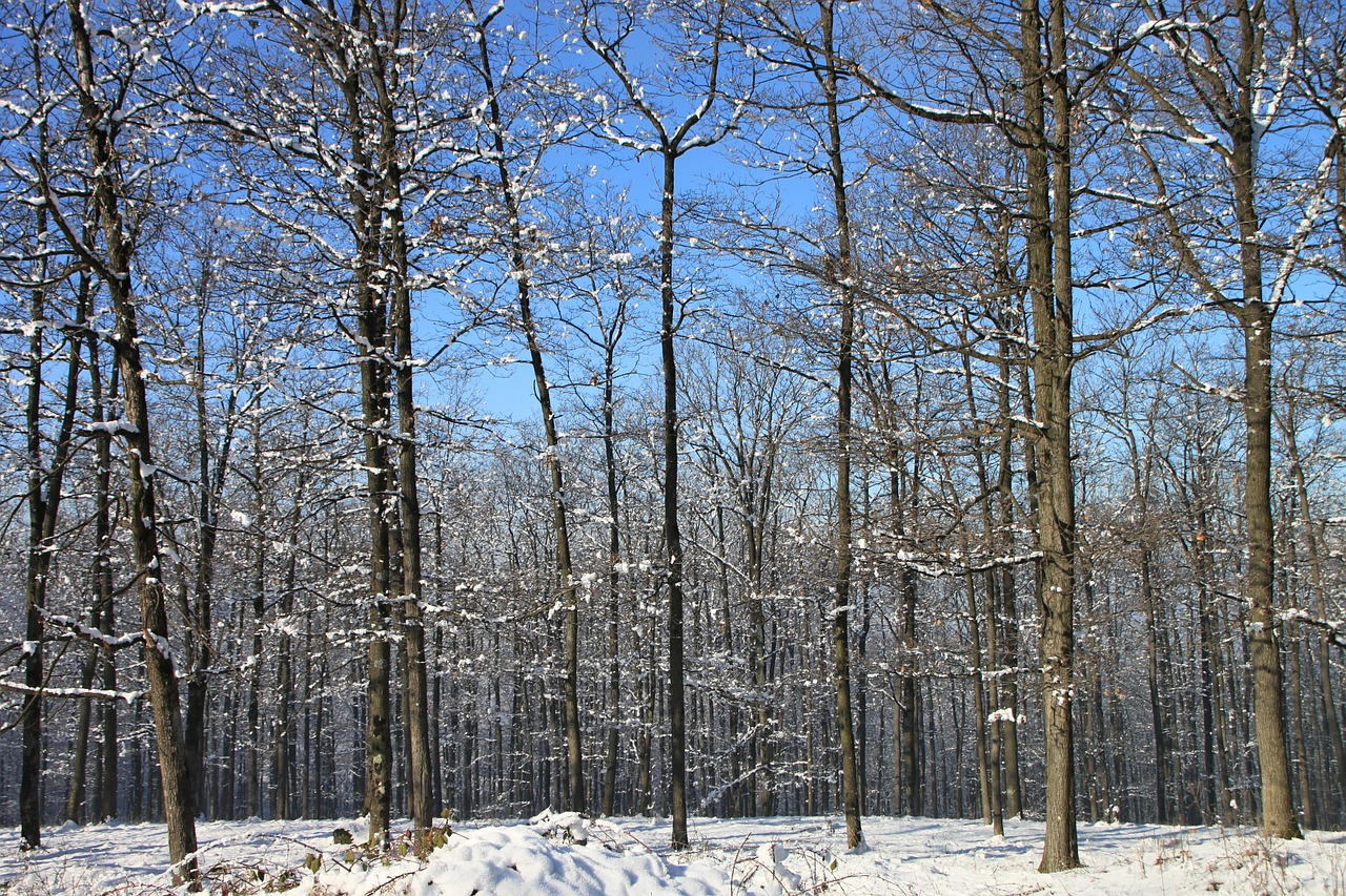 forest snow winter free photo
