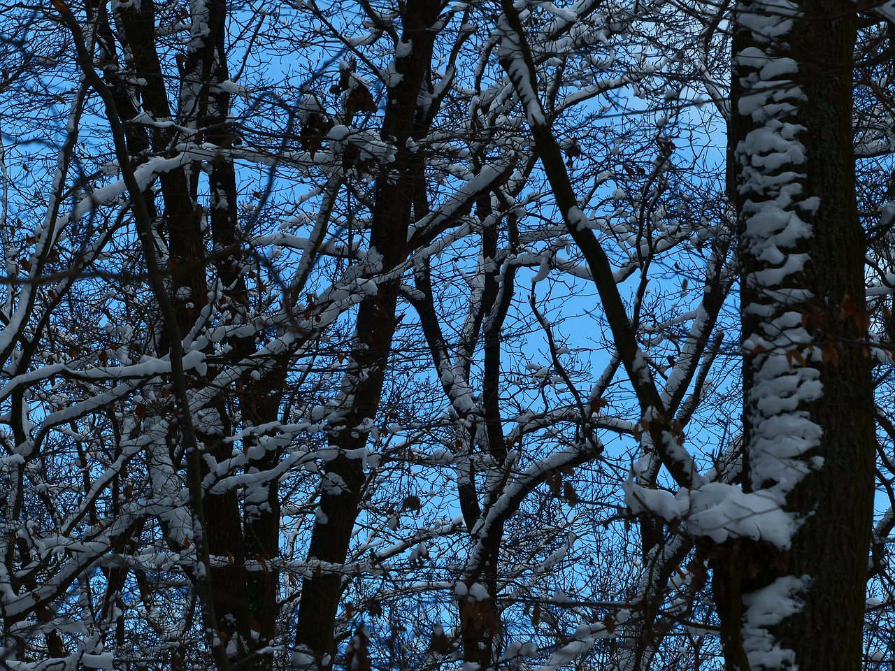 forest trees snowy free photo