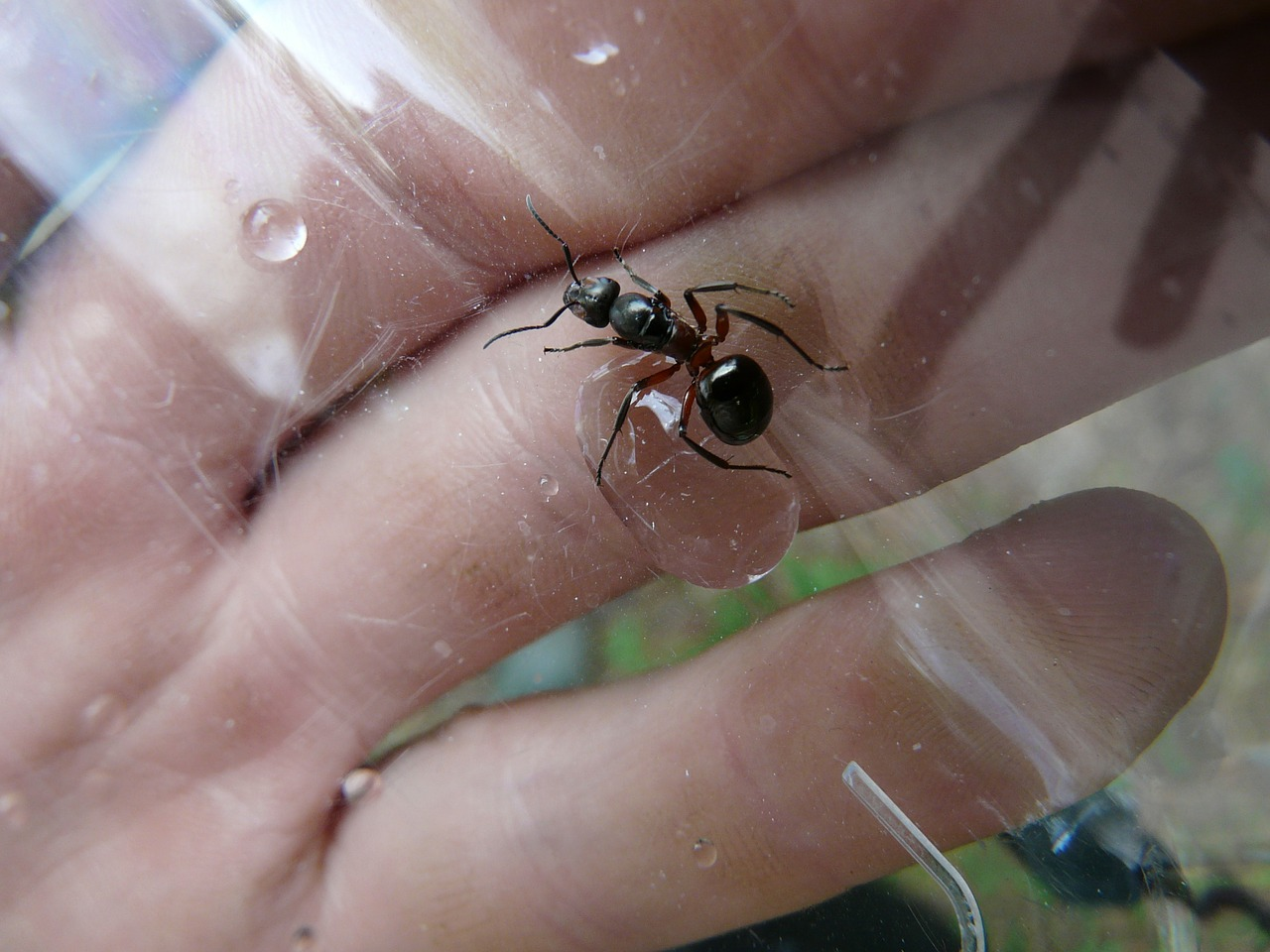 forest ant queen ant queen wood ant free photo