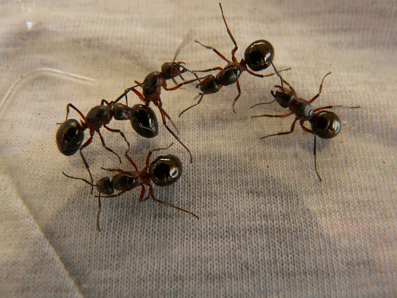 forest ant queens ants wood ants free photo