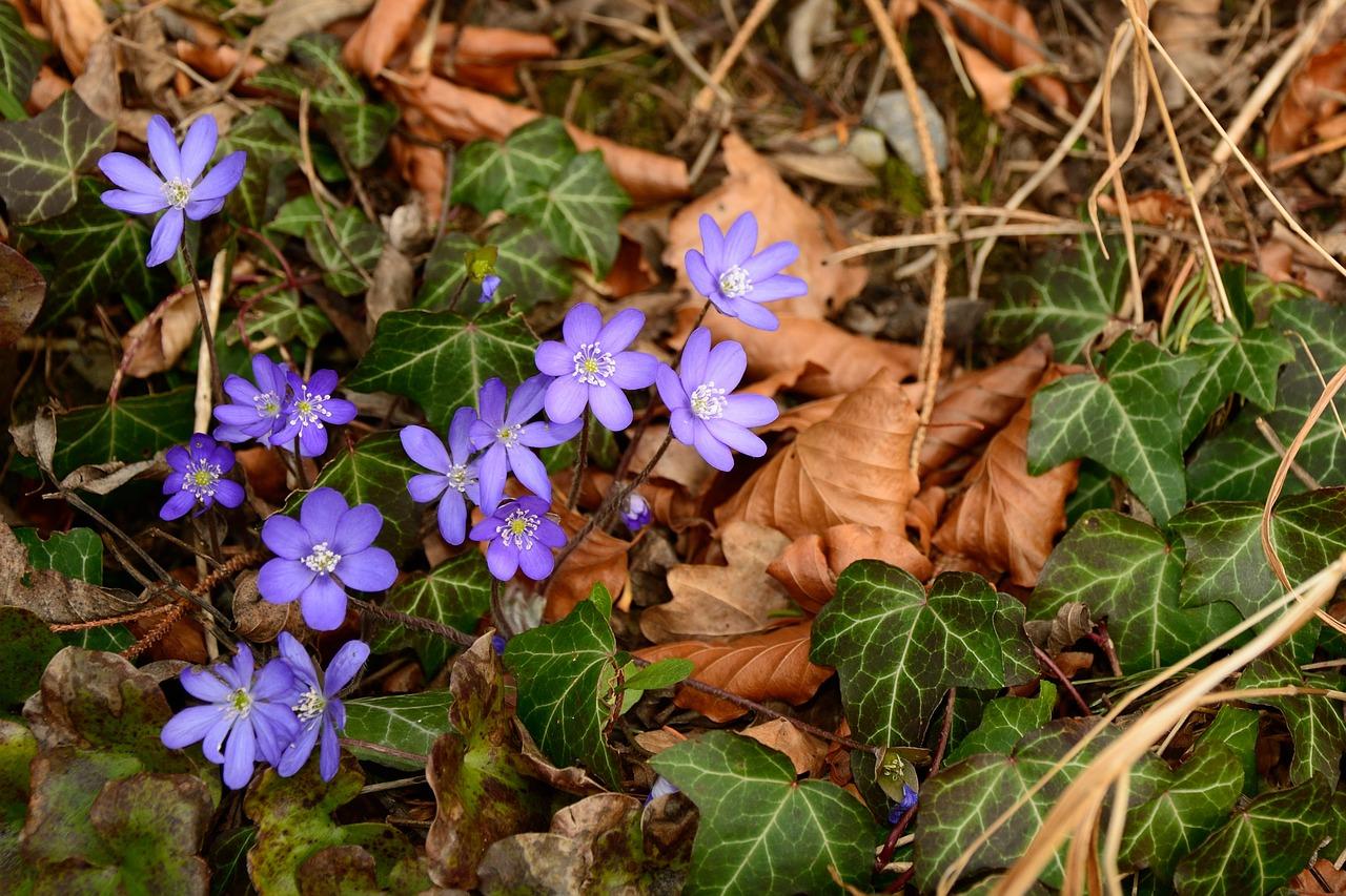 Forest Floorgroundleavesivyflowers Free Photo From Needpix