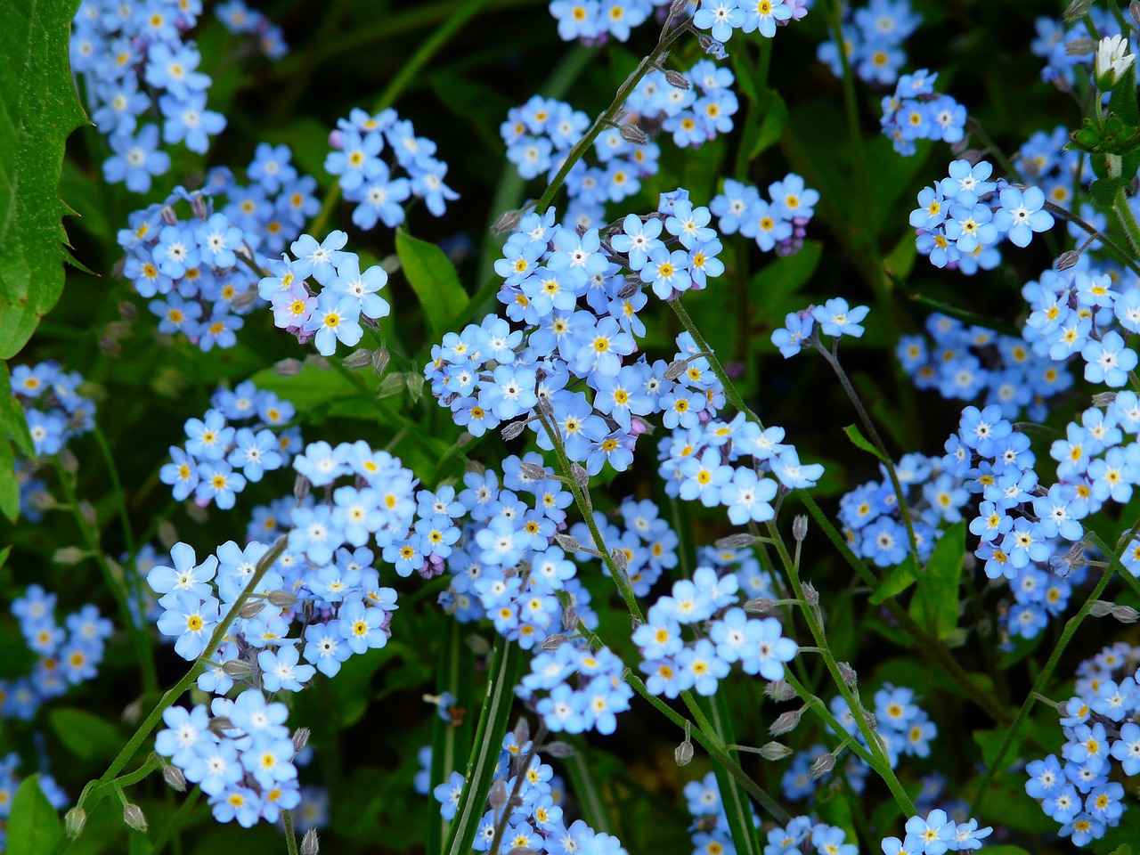 forget me not flower meadow free picture