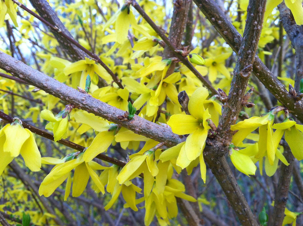 forsythia spring blossoms yellow flowers free photo