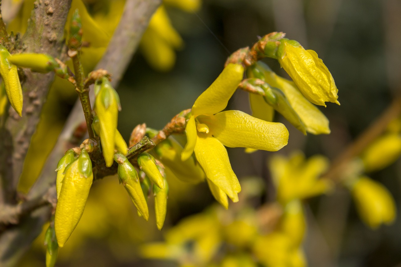 forsythia blossom bloom free photo