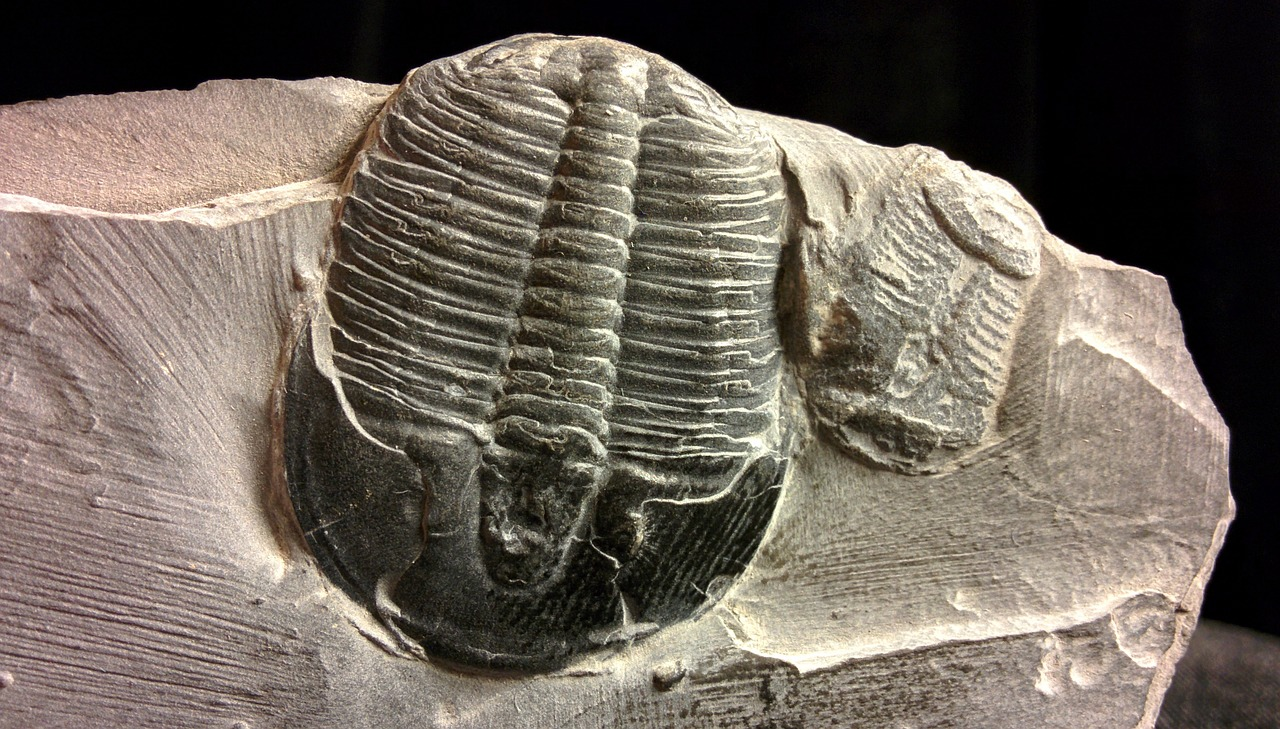 fossil trilobites collectibles free photo