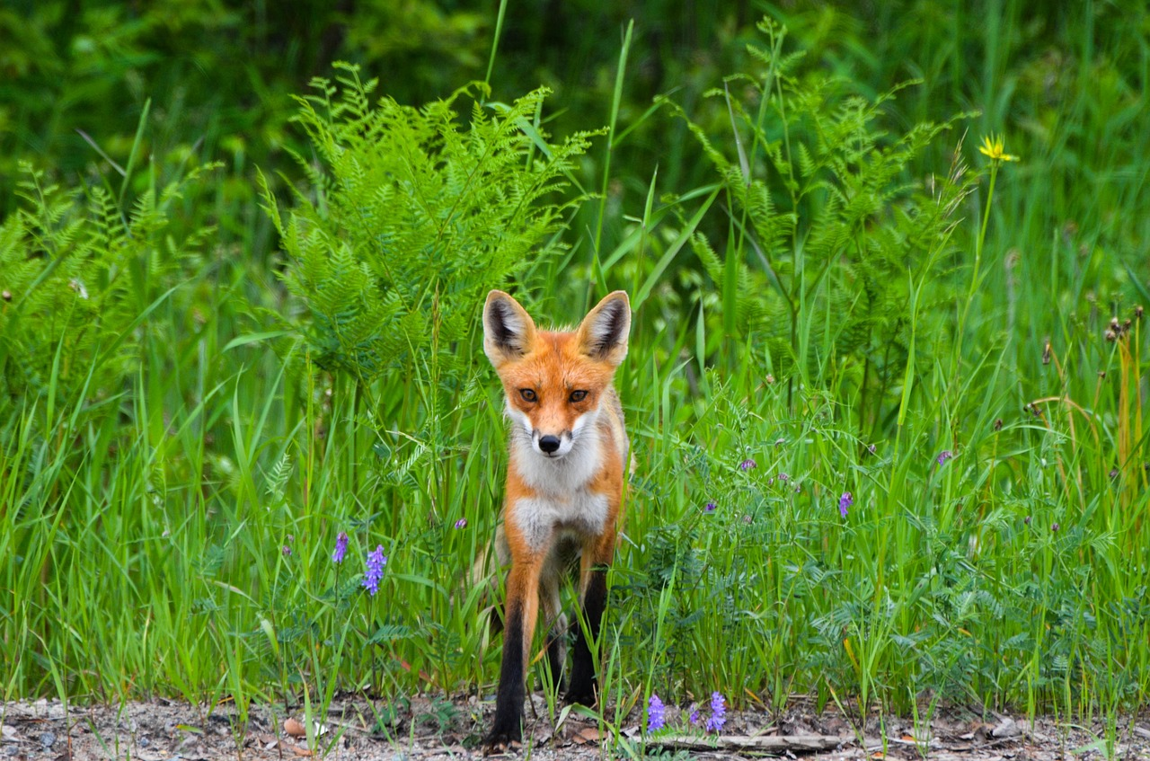 fox red fox wild free photo