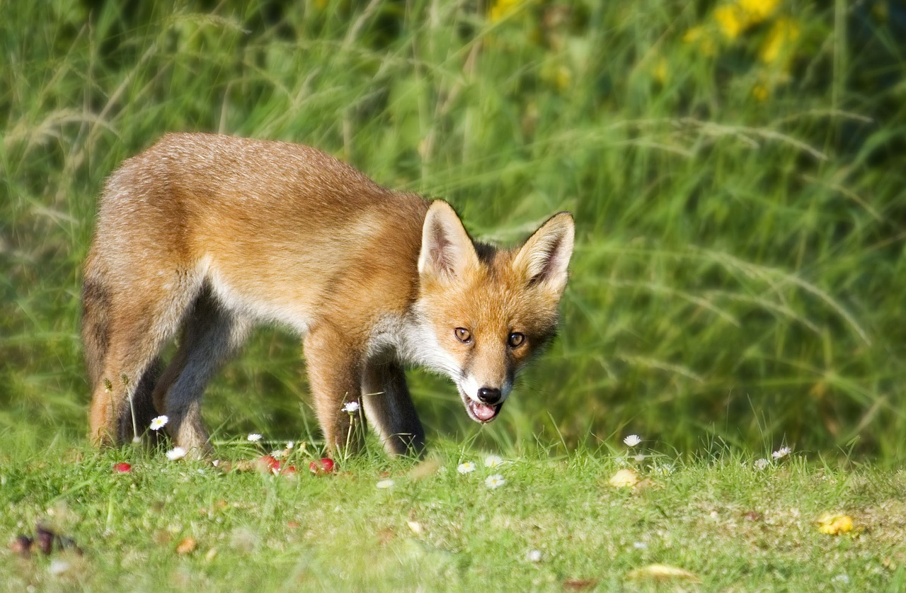 fox wildlife animal free photo