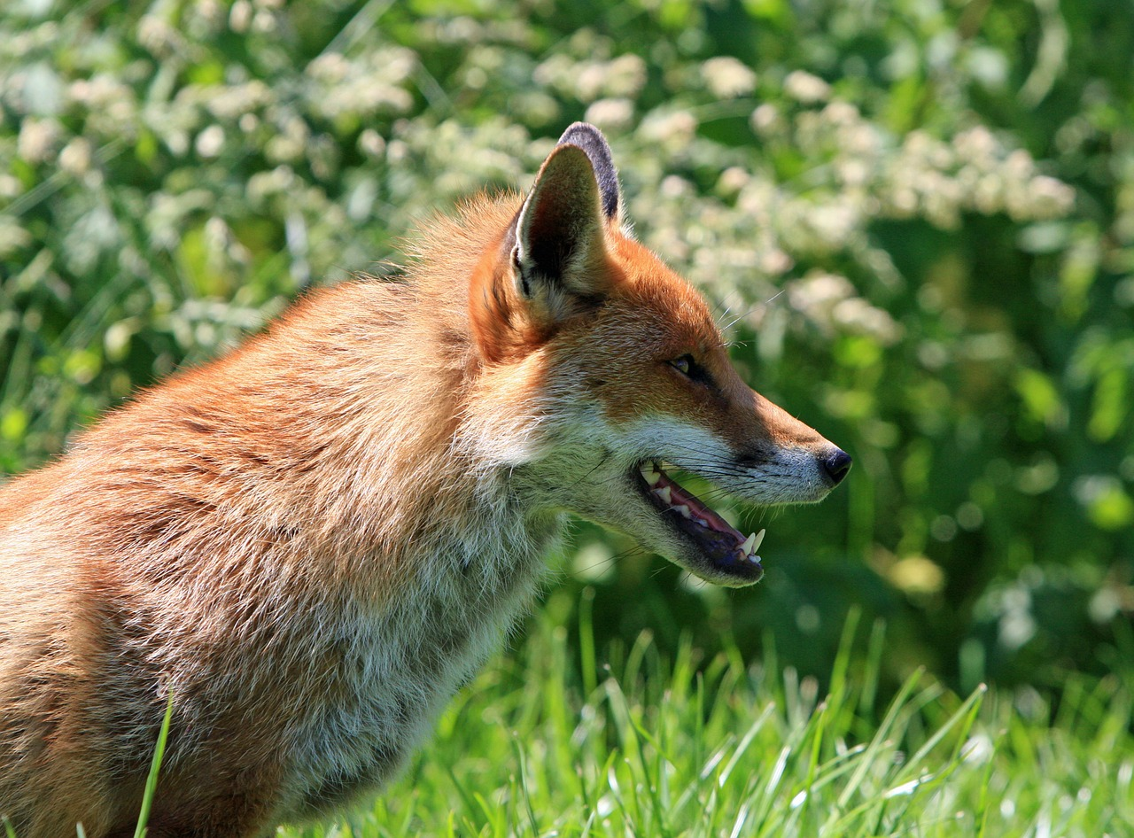 fox red fox red free photo