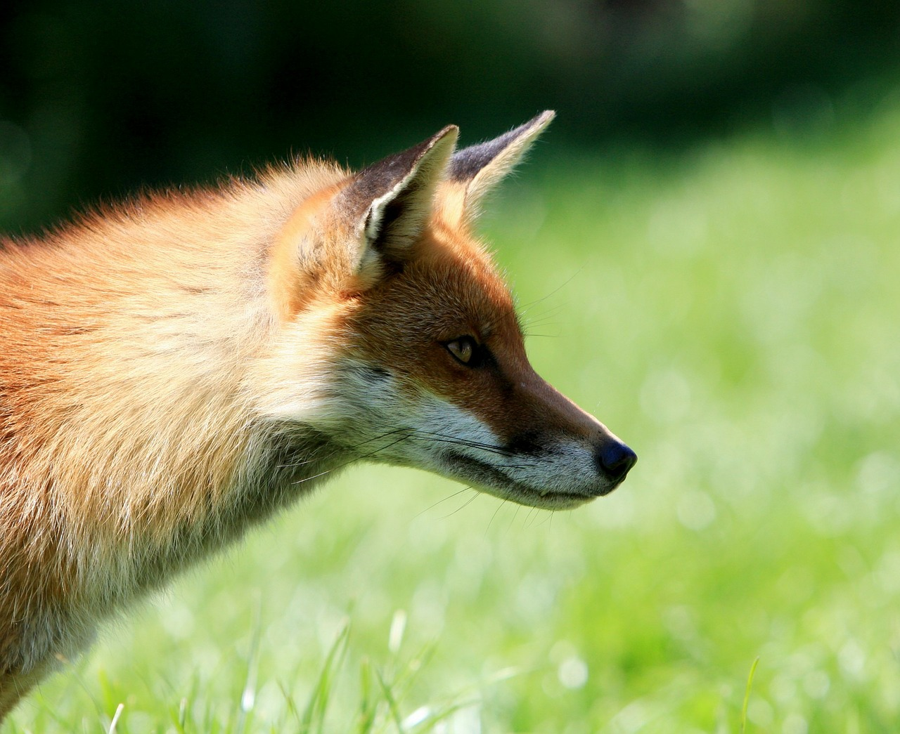 fox red red fox free photo