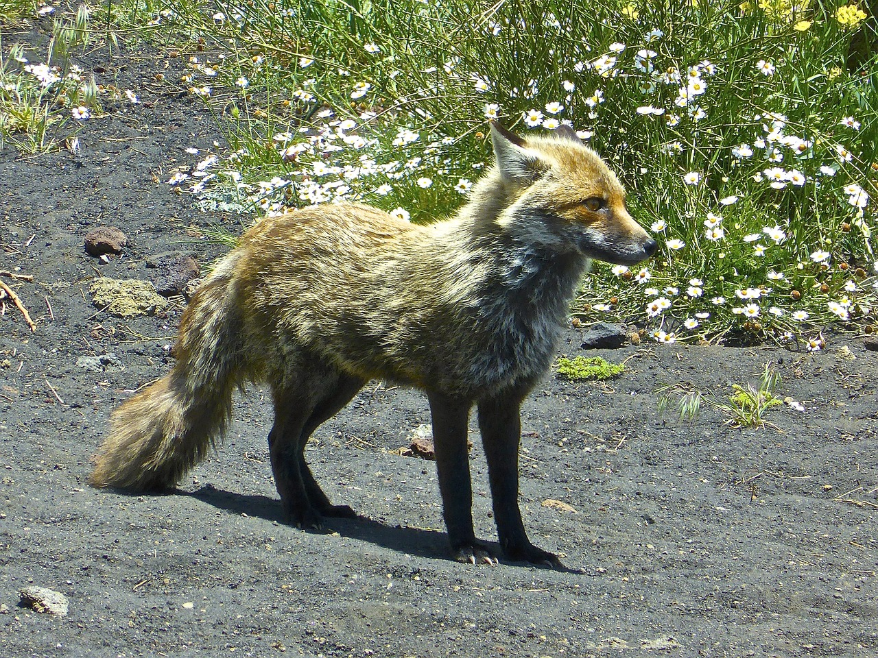 fox arctic wildlife free photo