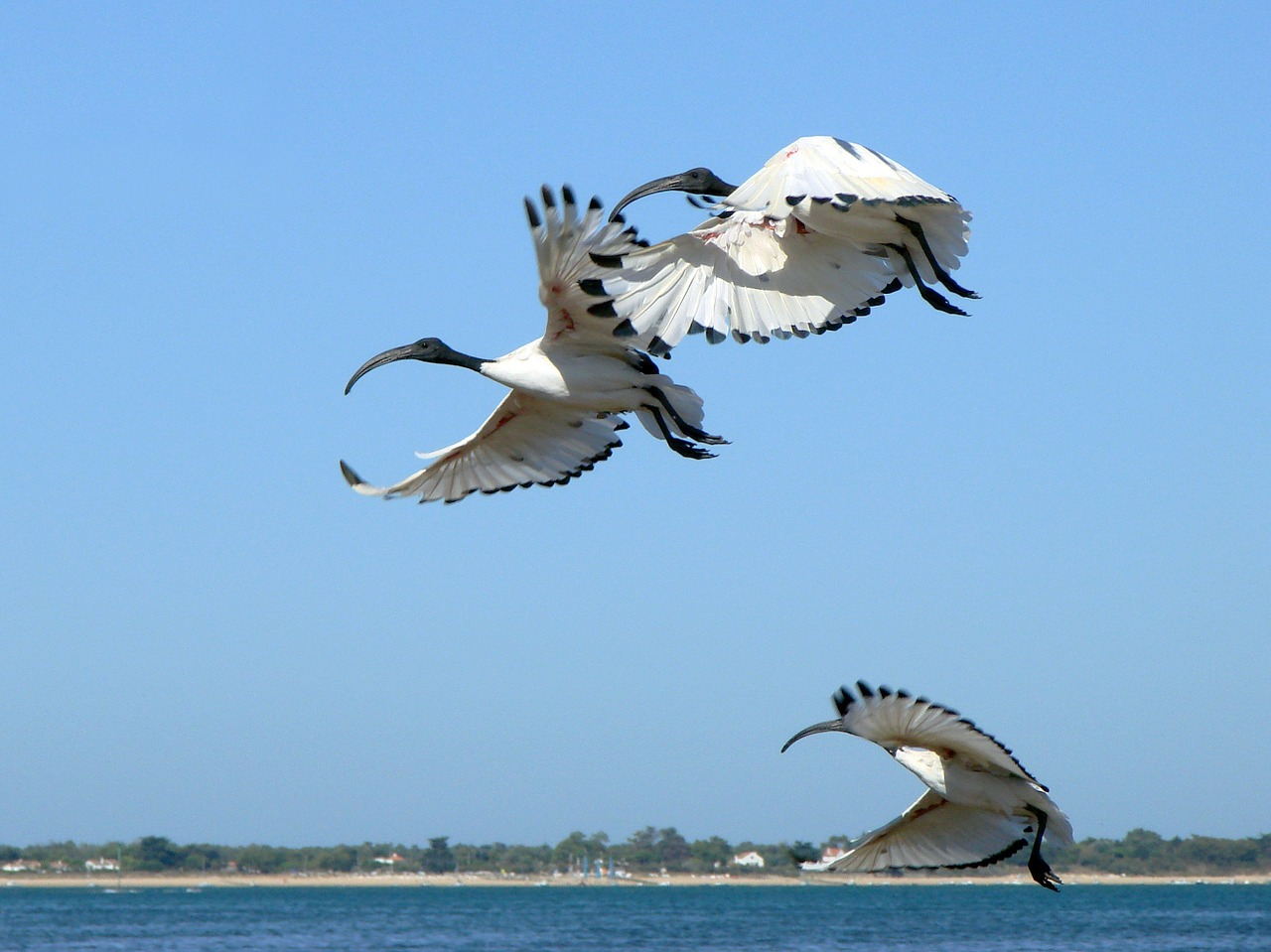france ibis flying free photo