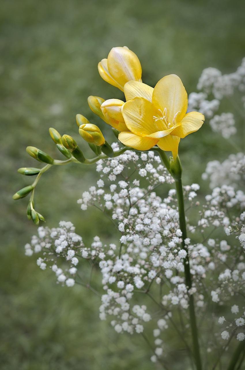 Freesiafloweryellowflowersyellow Flower Free Photo From