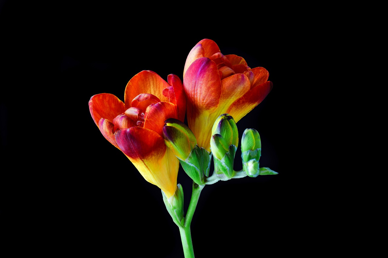 freesia flower blossom free photo