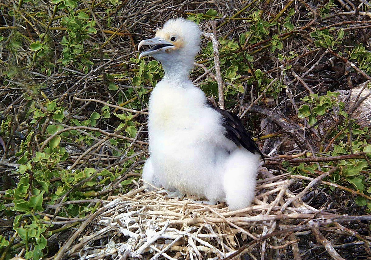 frigate bird,chick,wildlife,galapagos,frigatebird,nest,ecuador,free pictures, free photos, free images, royalty free, free illustrations, public domain