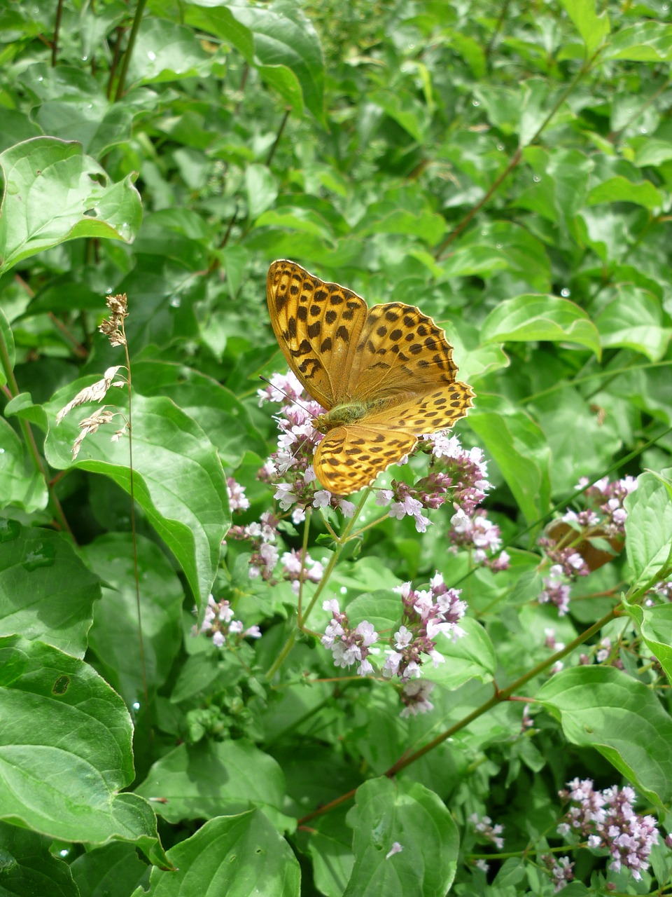 fritillary german butterfly nature free photo