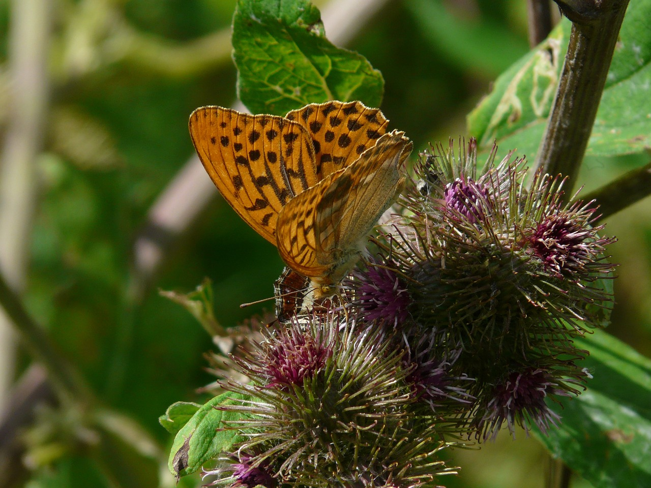 fritillary butterfly nature free picture