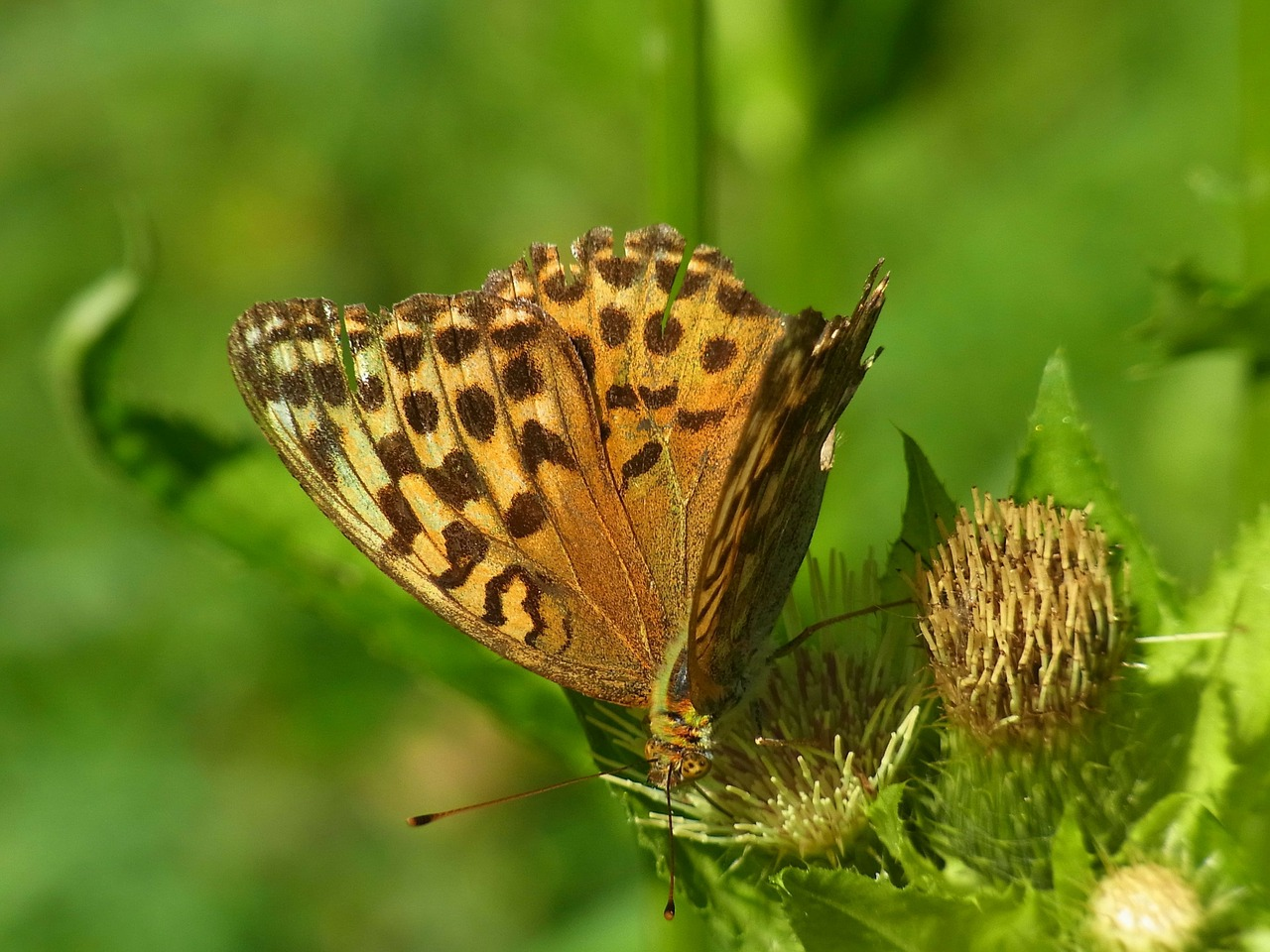 fritillary argynnis paphia butterfly free photo