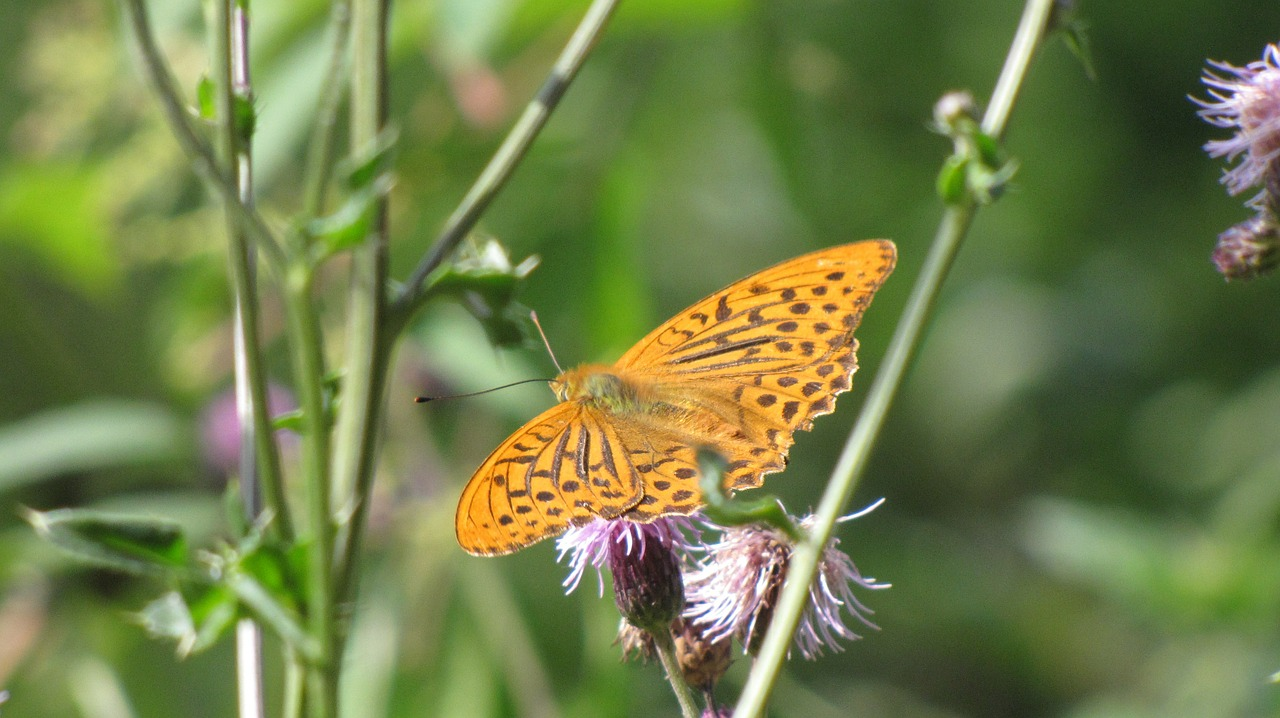 fritillary butterfly insect free photo