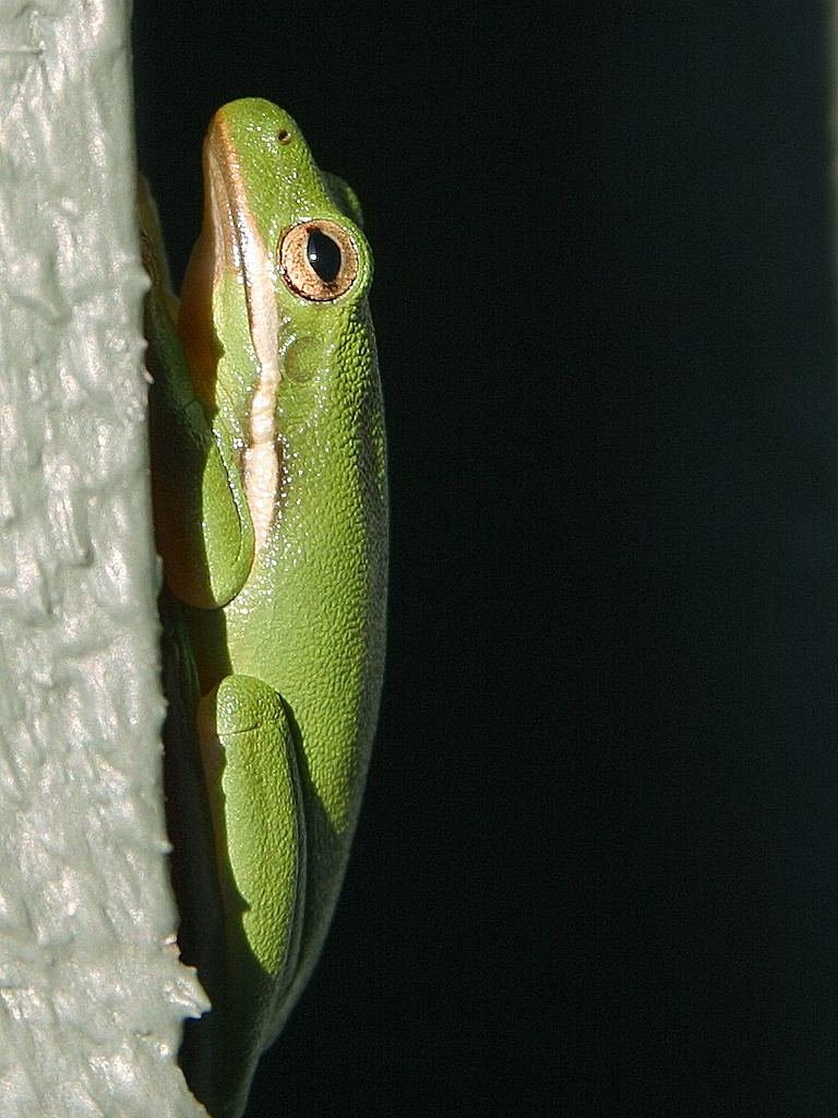 frog green tree frog free picture