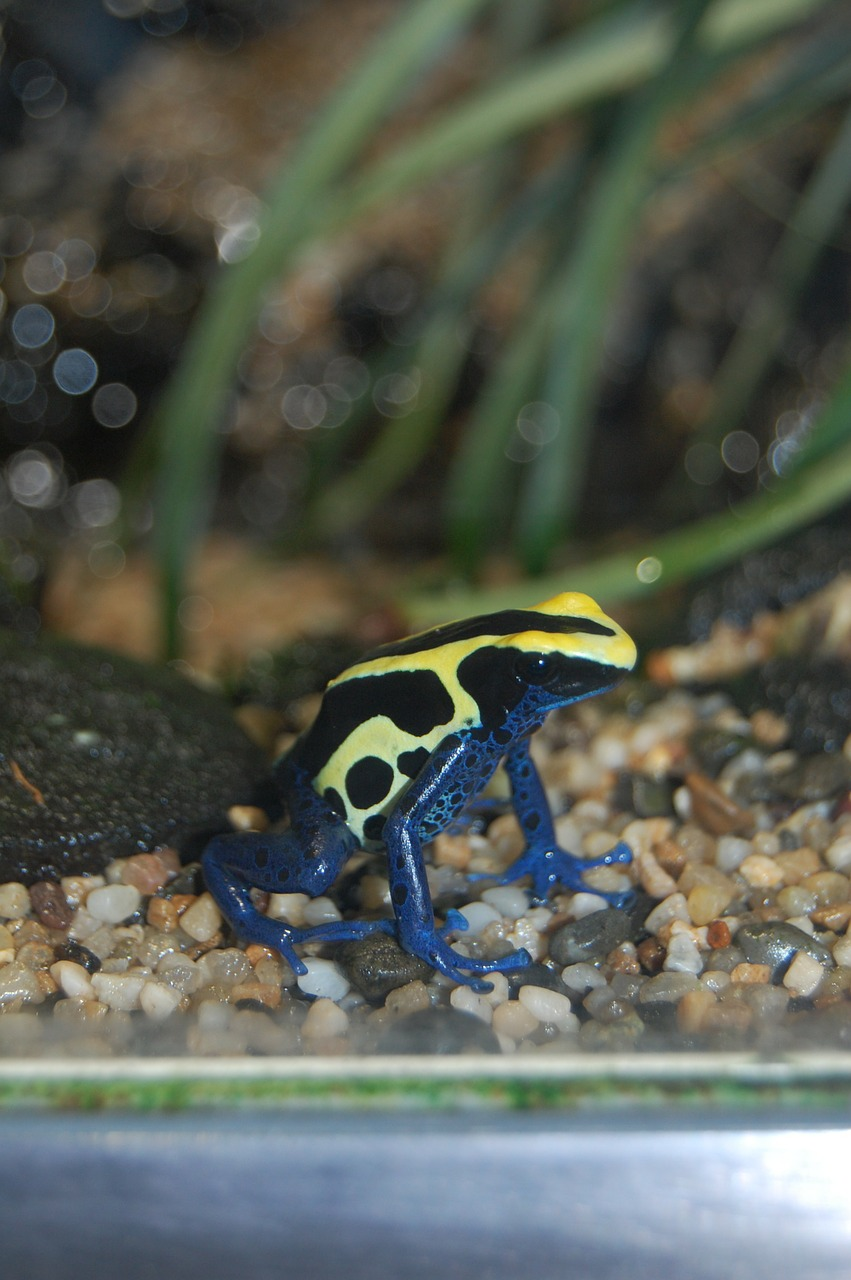 frog blue yellow toxic free photo