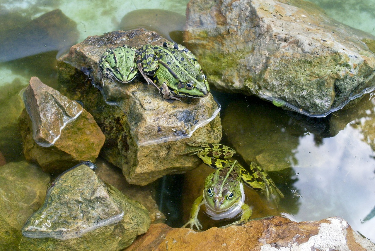 frogs reptile pond free photo