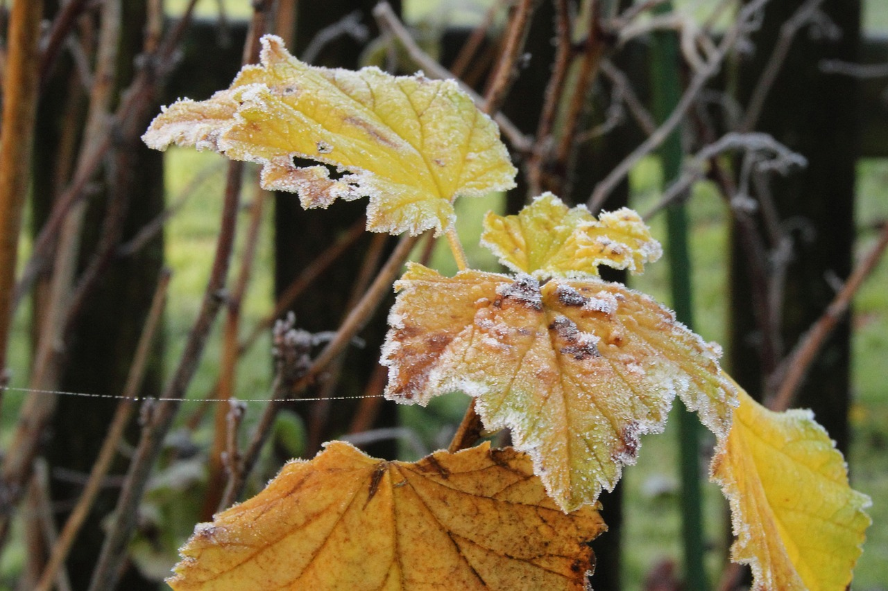 frost hoarfrost leaves free photo