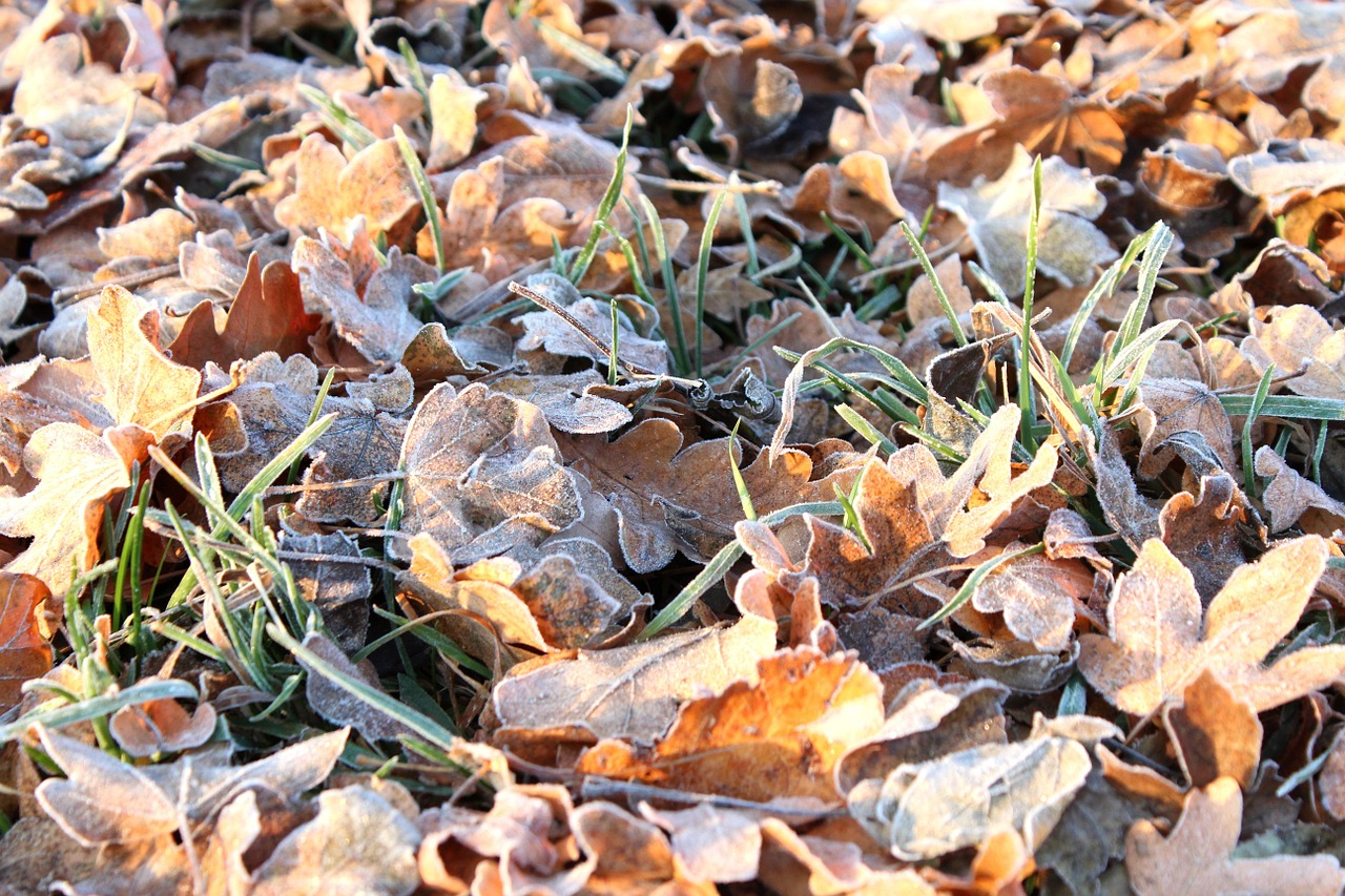 frost leaves autumn free photo