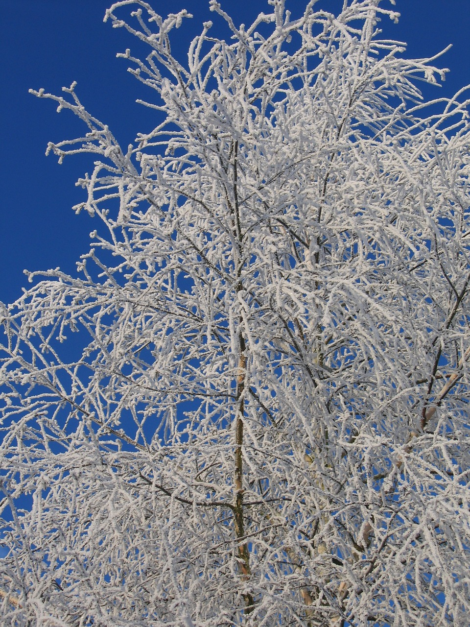 frost birch ripe free photo