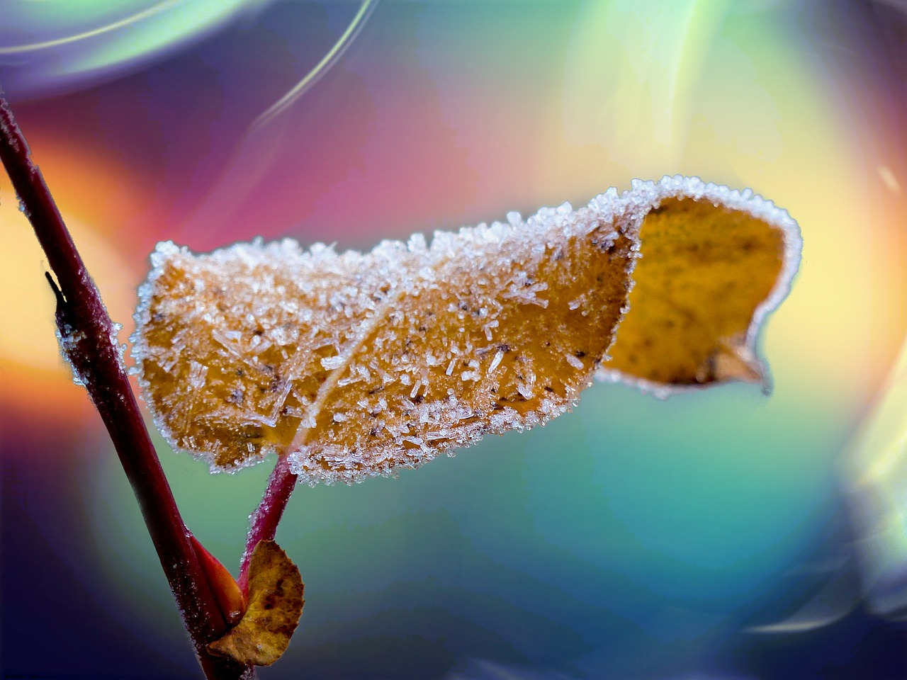 frosted leaf branch free photo