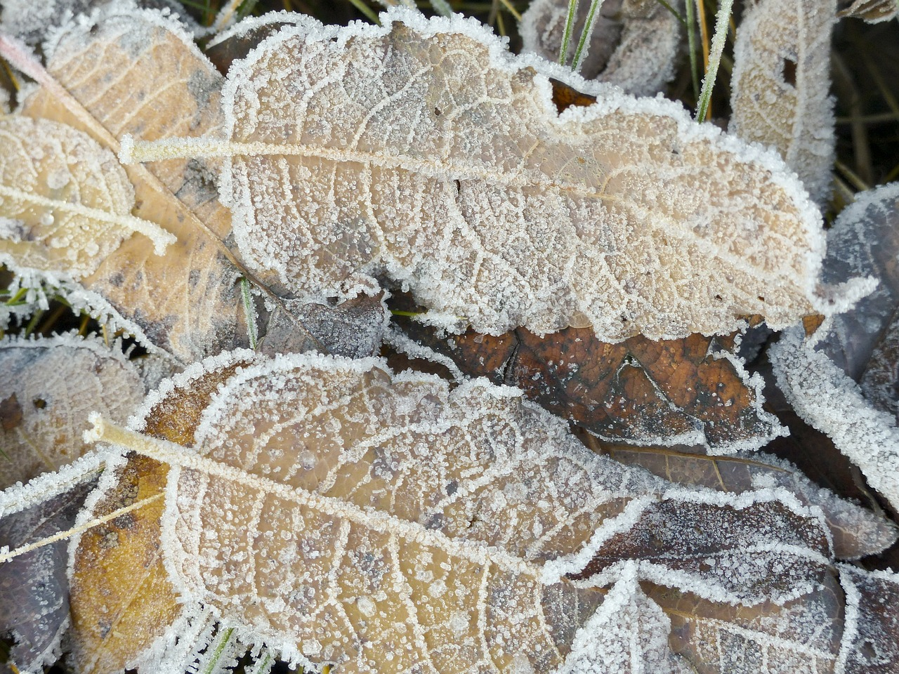 frosted frozen foliage free photo