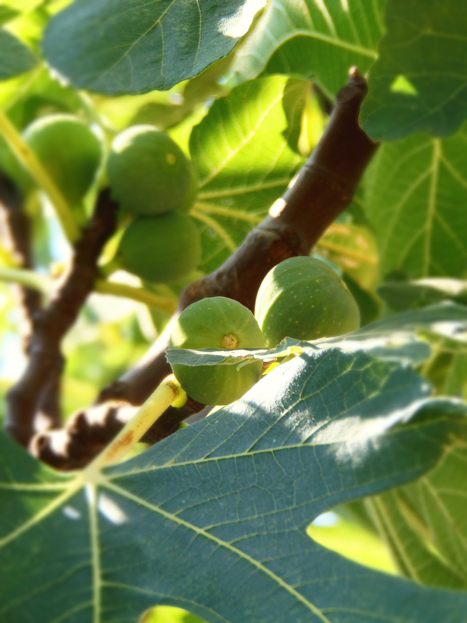 fruit fig fig tree free photo