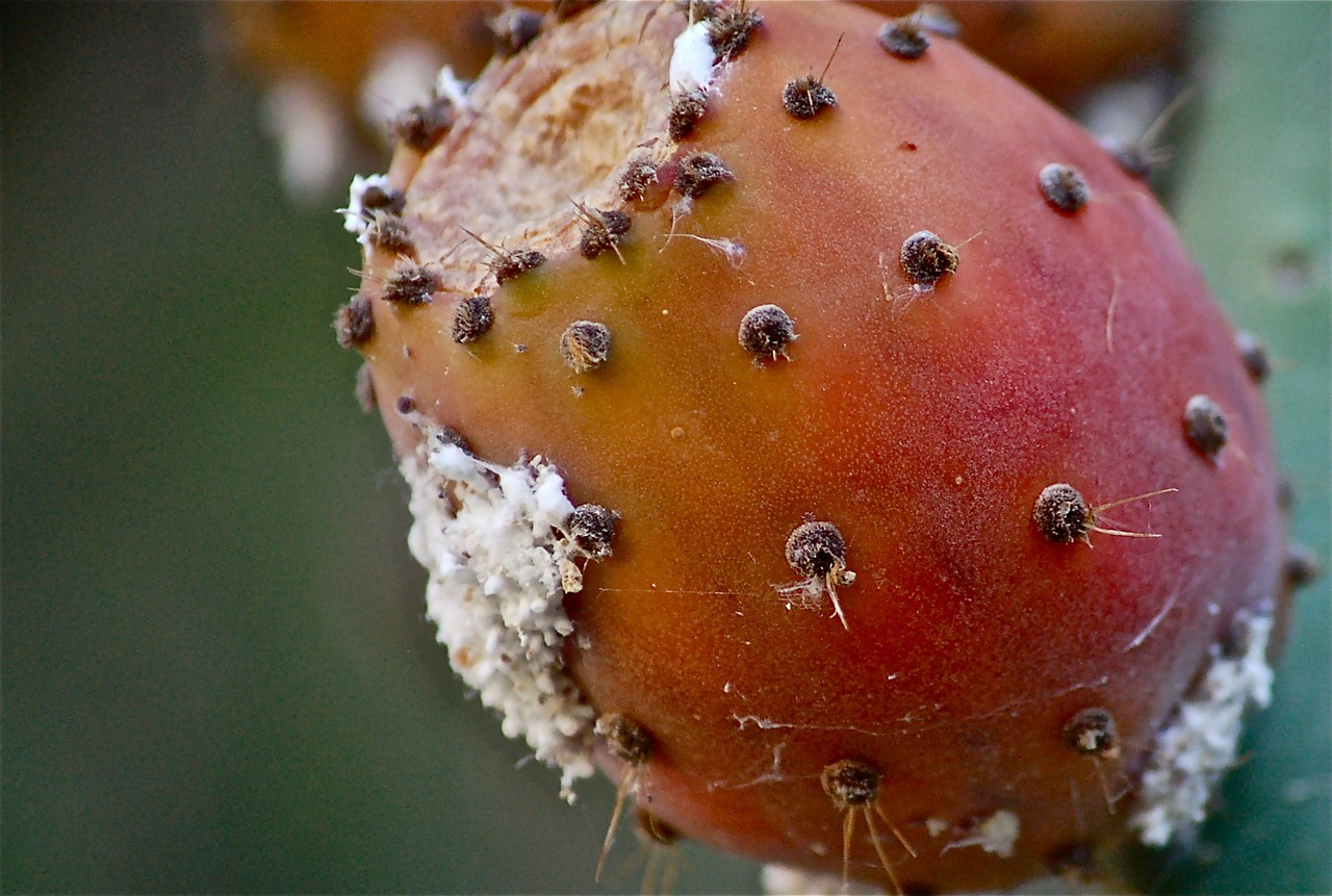 fruit prickly pear prickly pear cactus free photo