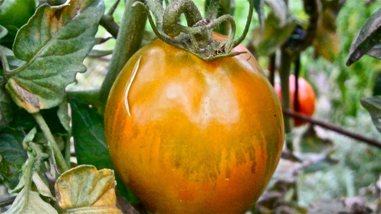 fruit tomato vegetable free photo