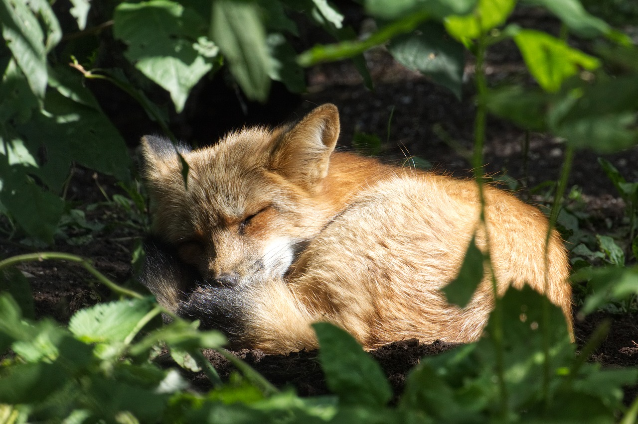 fuchs  sleep  nature free photo
