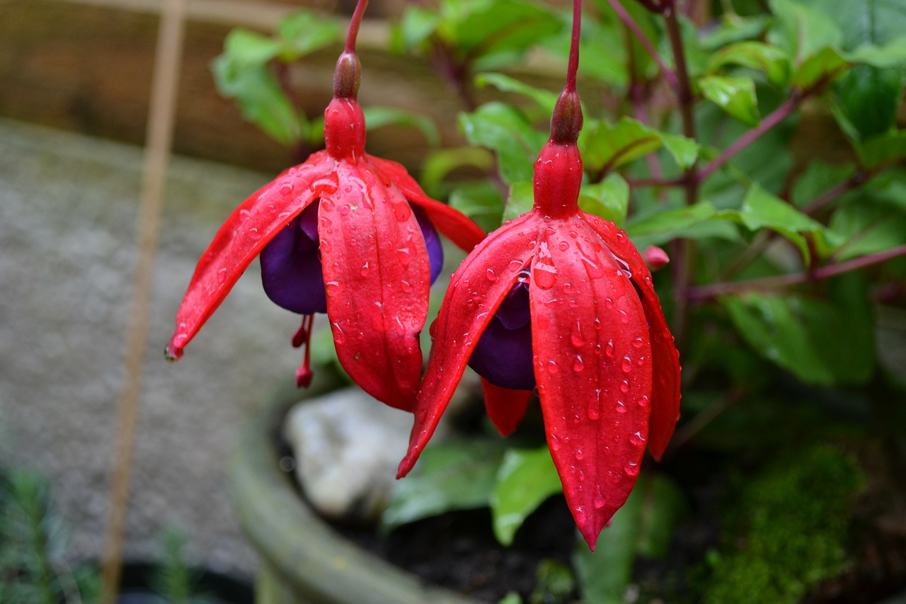 fuchsia potted plant woody free photo