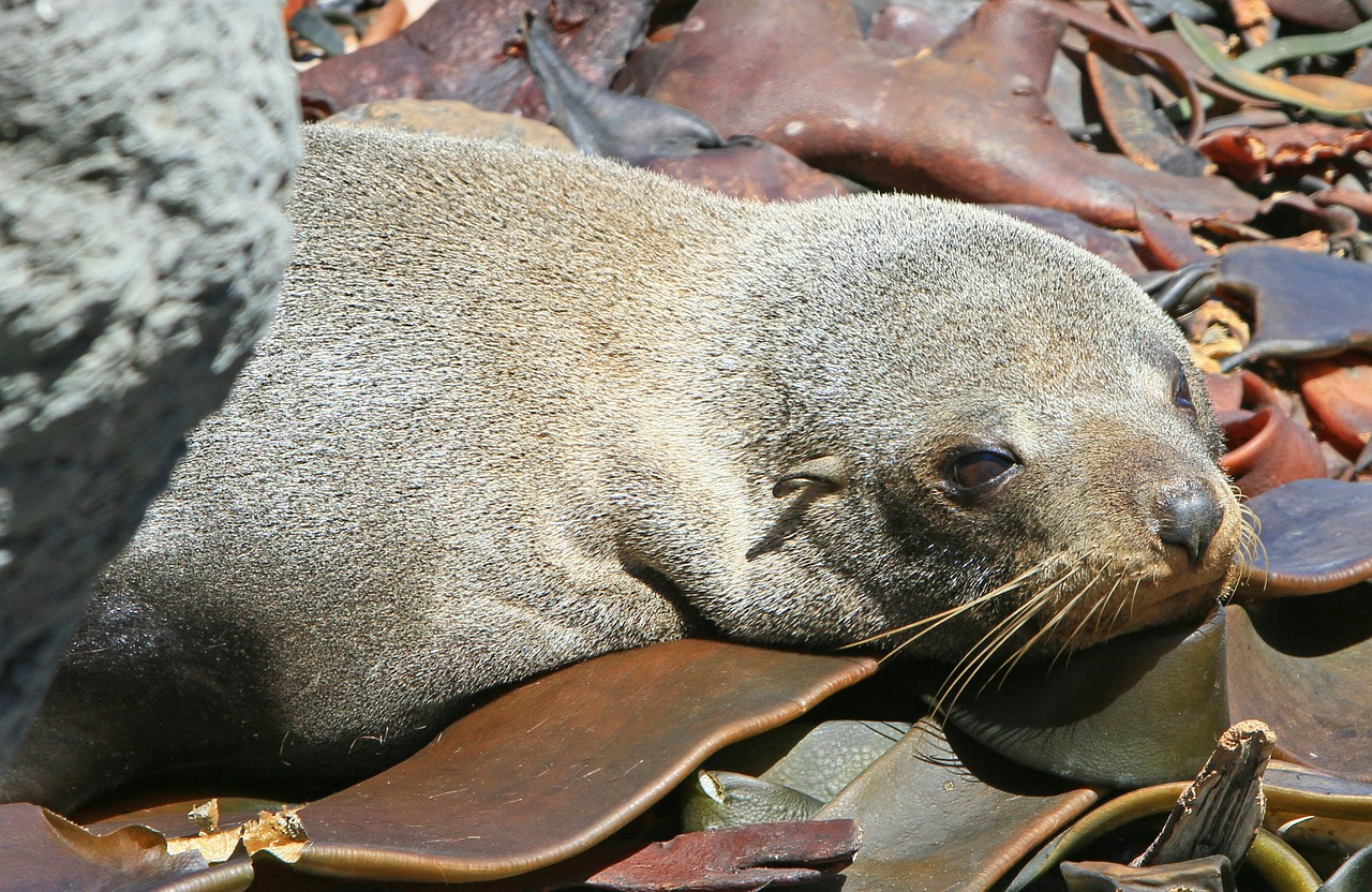 fur seal seals seal pup free photo