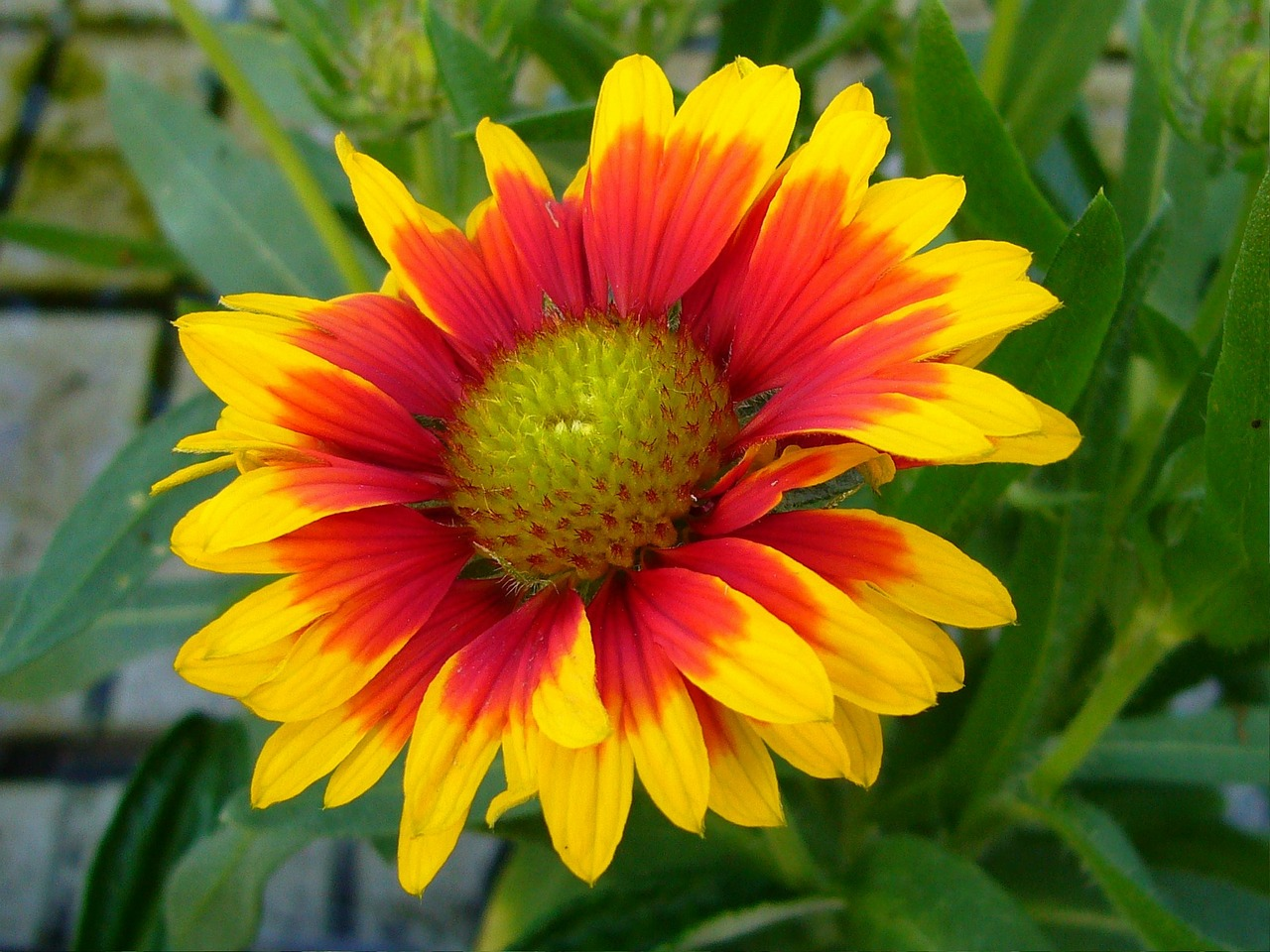 Gaillardiablanket Flowersperennialflowerbloom Free Photo From