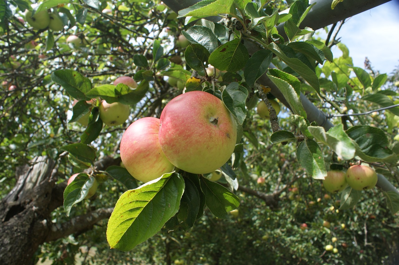 galician apples apples blonde free photo