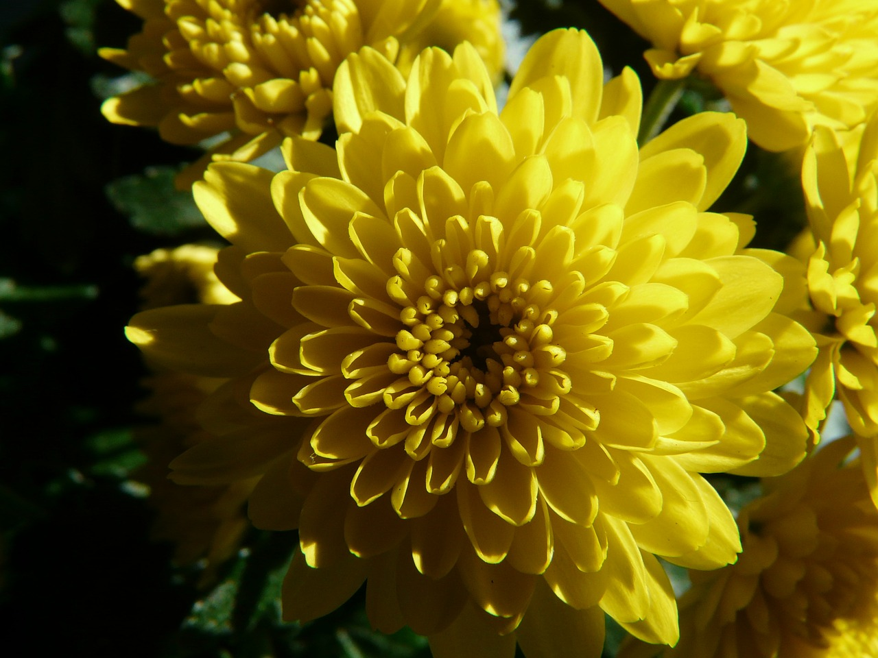 garden chrysanthemum chrysanthemum grandifloraum dendranthema grandiflorum free photo