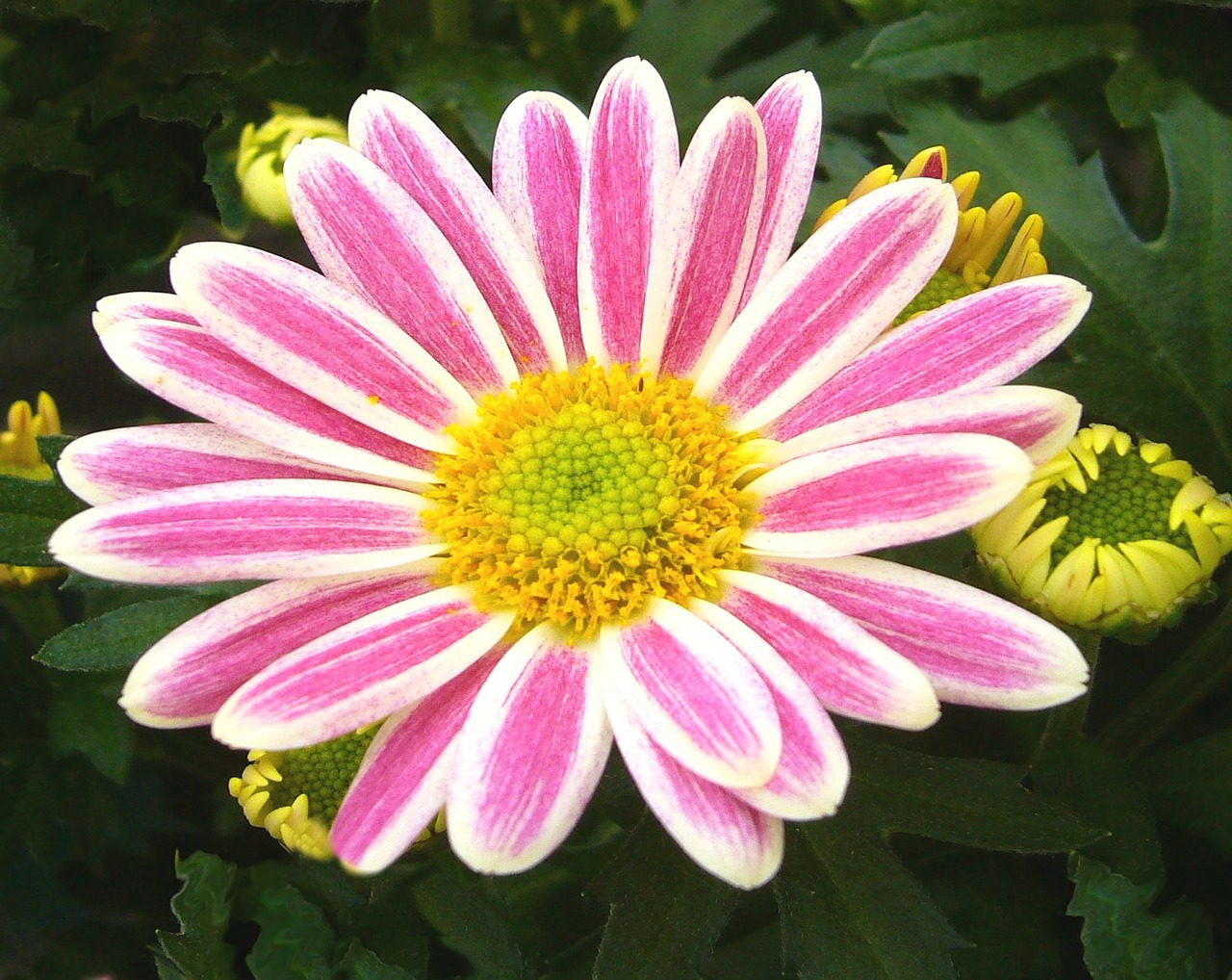 garden chrysanthemum pot plant pink free photo