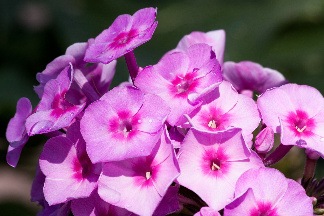 garden phlox phlox flower free photo