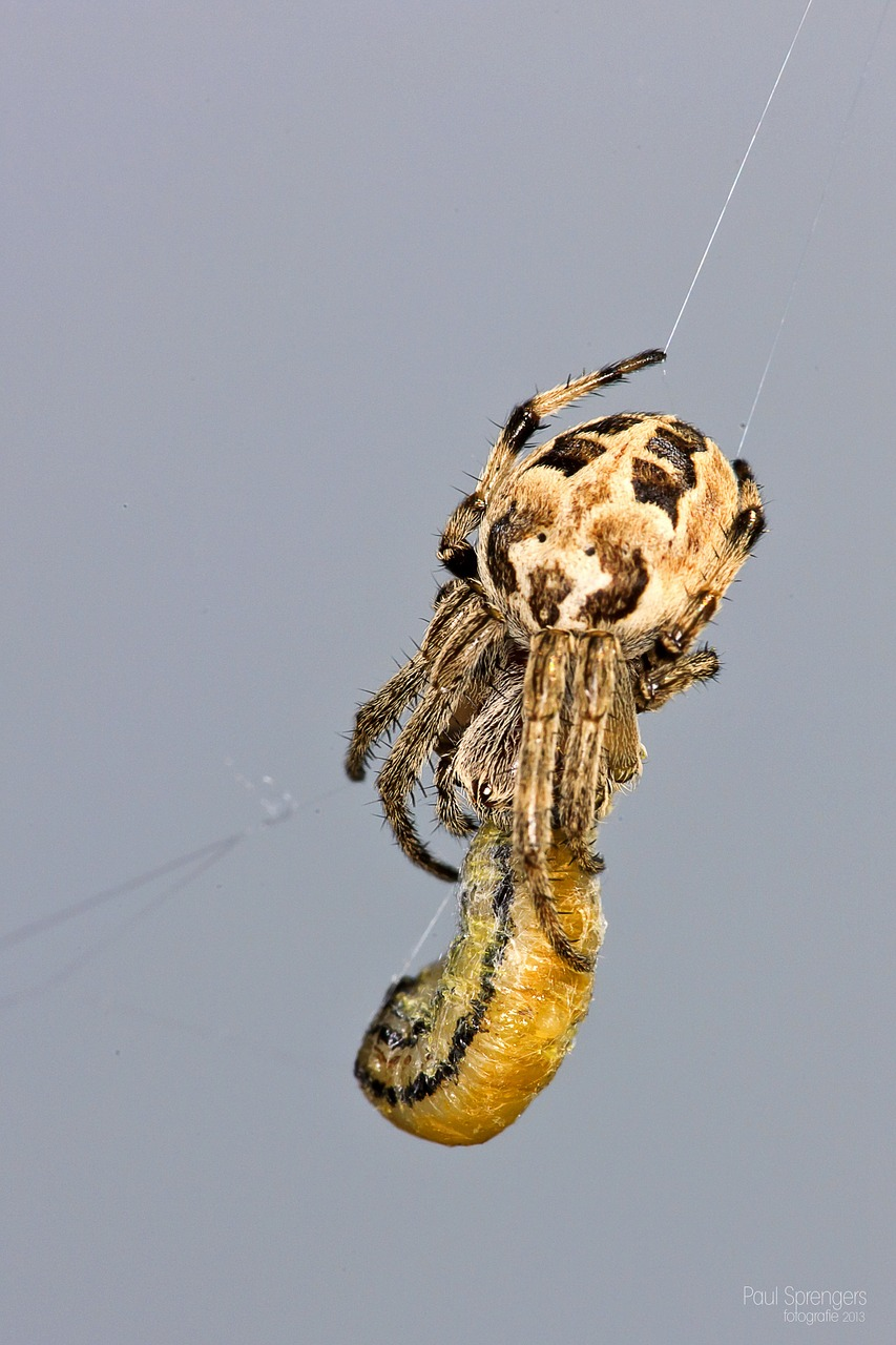 garden spider spin arachnida free photo