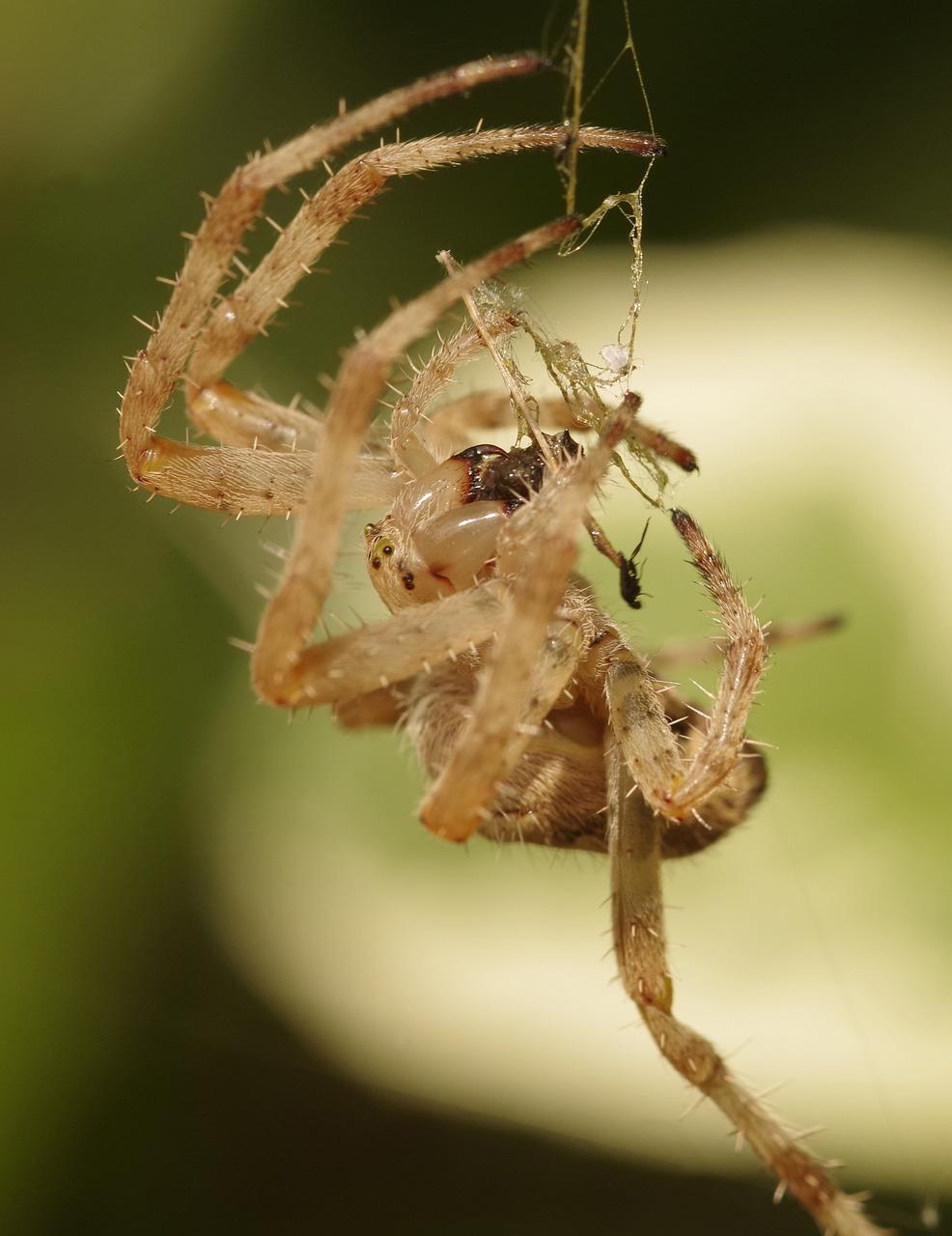 Garden spider,crowned orb weaver,cross spider,diadem spider,fang ...