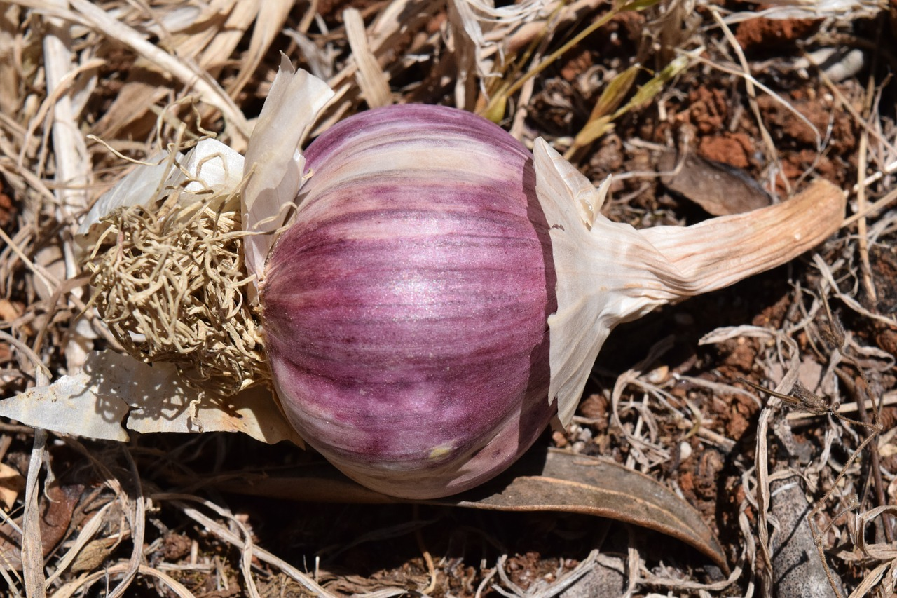 garlic purple violet free photo